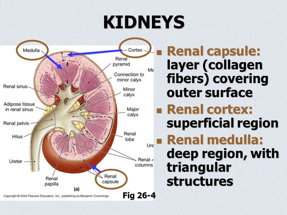 Anatomy renal system 7293572 - follow4more.info