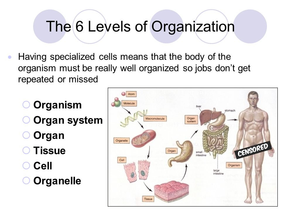 Growth, Development, & Levels of Organization Notes - ppt download