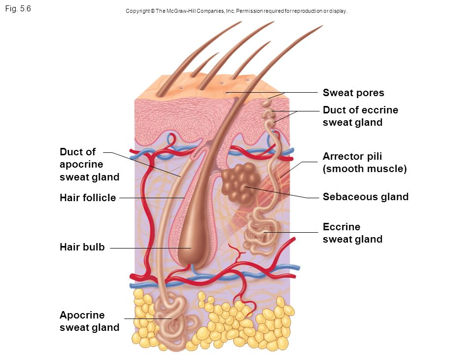 Amazing Sweat Gland Anatomy Image Human Anatomy Images