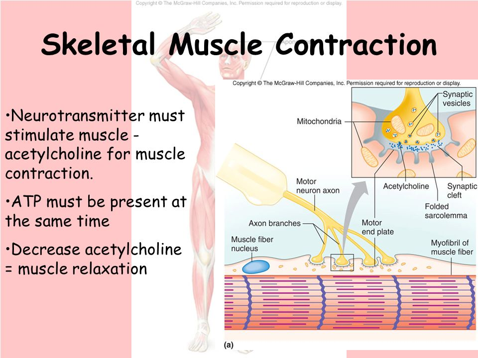 skeletal muscle contraction Muscle contraction: regulation john m squire, university of bristol, bristol, uk we can directly control or regulate the activity of our skeletal muscles.