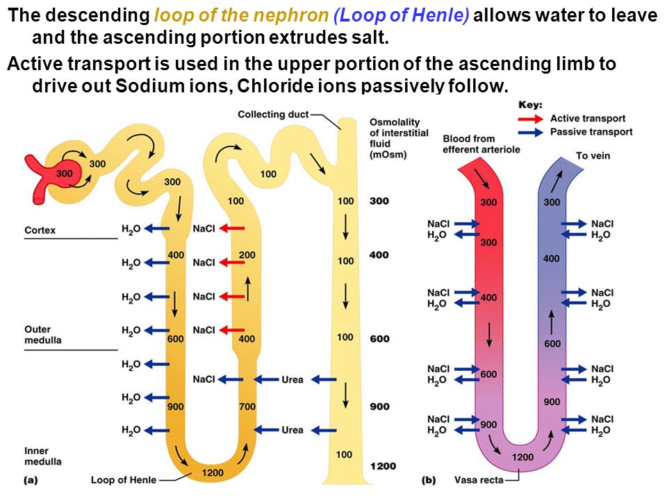 Chapter 16 urinary system and excretion ppt video online download the descending loop of the nephron loop of henle allows water to leave and ccuart Choice Image