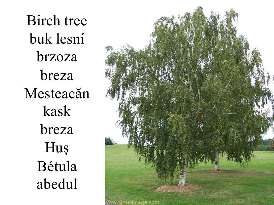 Birch tree buk lesní brzoza breza Mesteacăn kask breza Huş Bétula abedul