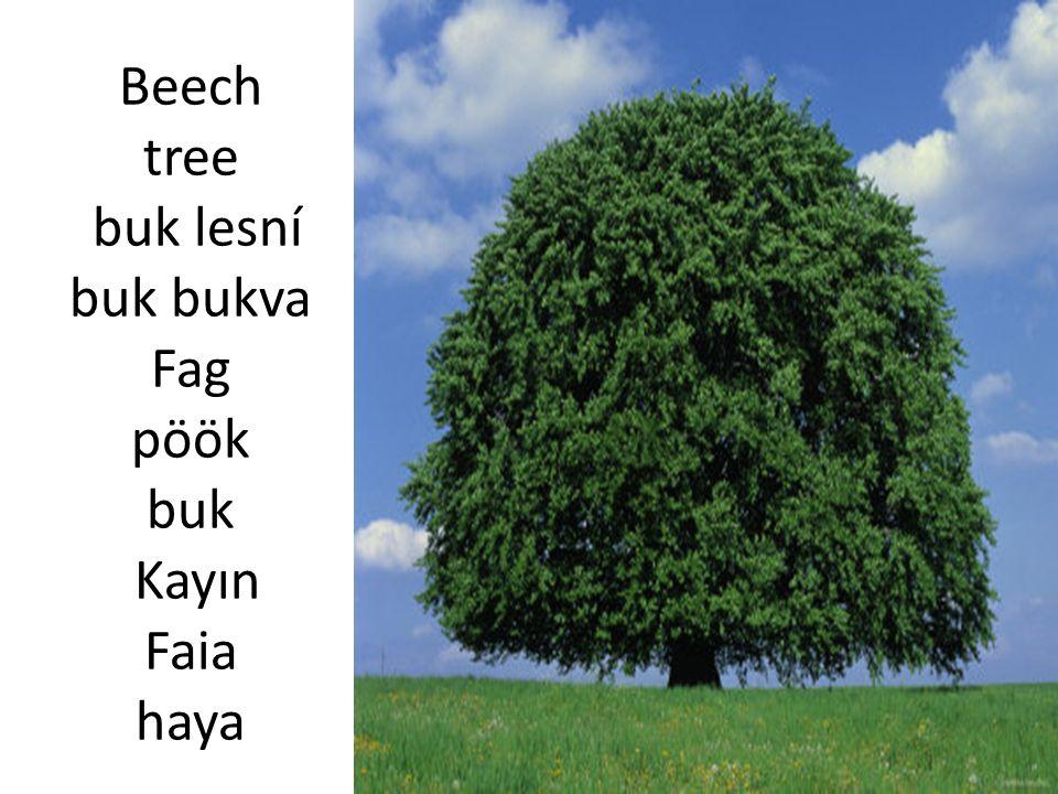 Beech tree buk lesní buk bukva Fag pöök buk Kayın Faia haya