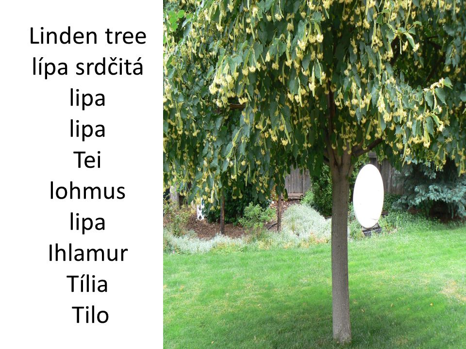 Linden tree lípa srdčitá lipa lipa Tei lohmus lipa Ihlamur Tília Tilo