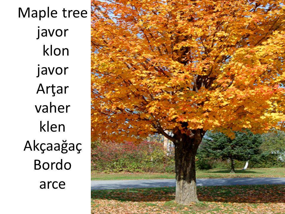 Maple tree javor klon javor Arţar vaher klen Akçaağaç Bordo arce