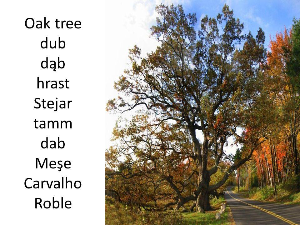 Oak tree dub dąb hrast Stejar tamm dab Meşe Carvalho Roble