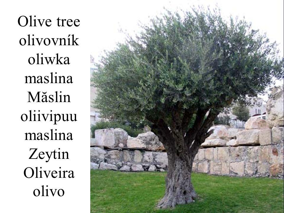 Olive tree olivovník oliwka maslina Măslin oliivipuu maslina Zeytin Oliveira olivo