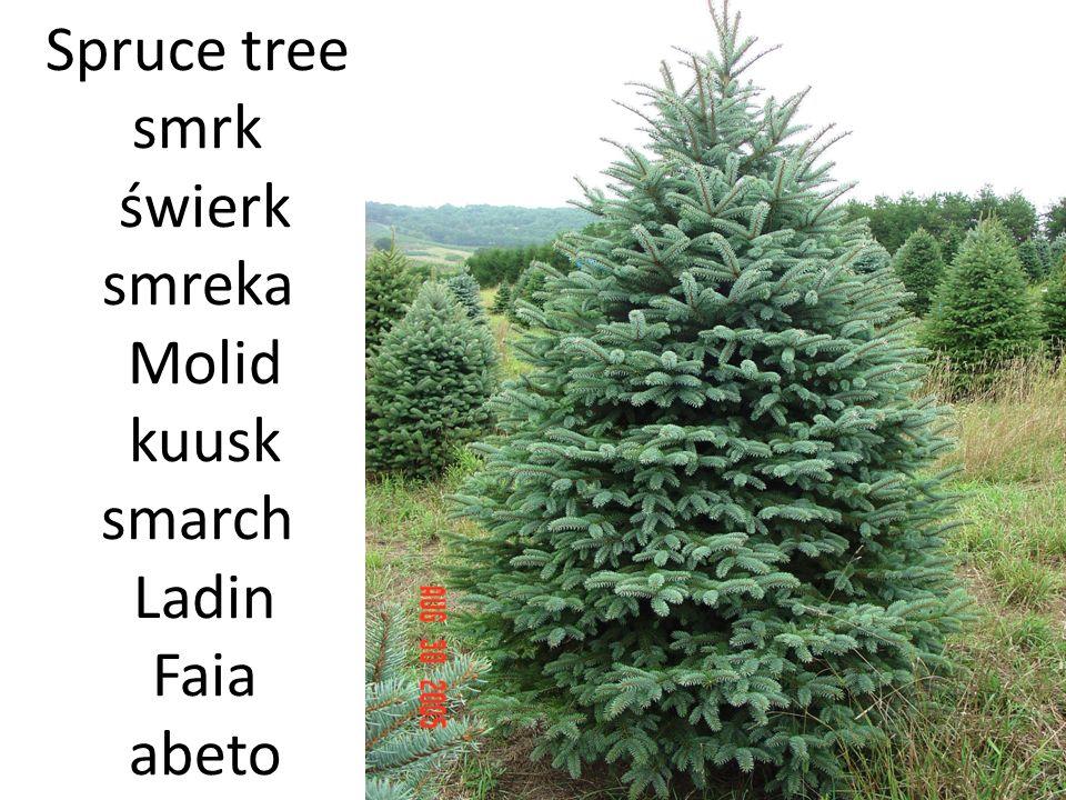 Spruce tree smrk świerk smreka Molid kuusk smarch Ladin Faia abeto