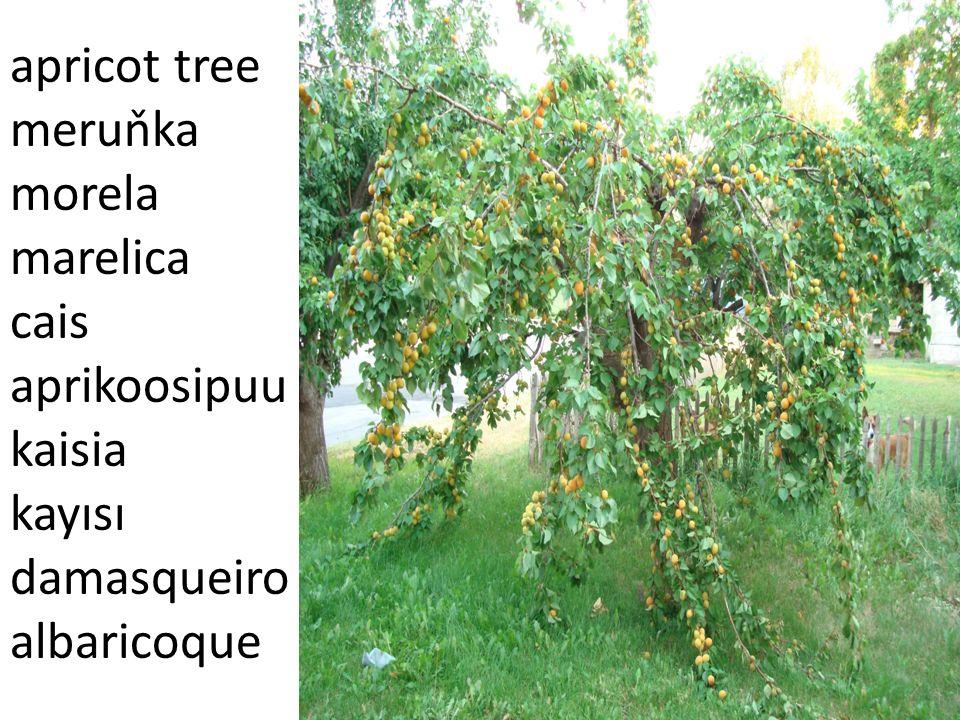 apricot tree meruňka morela marelica cais aprikoosipuu kaisia kayısı damasqueiro albaricoque