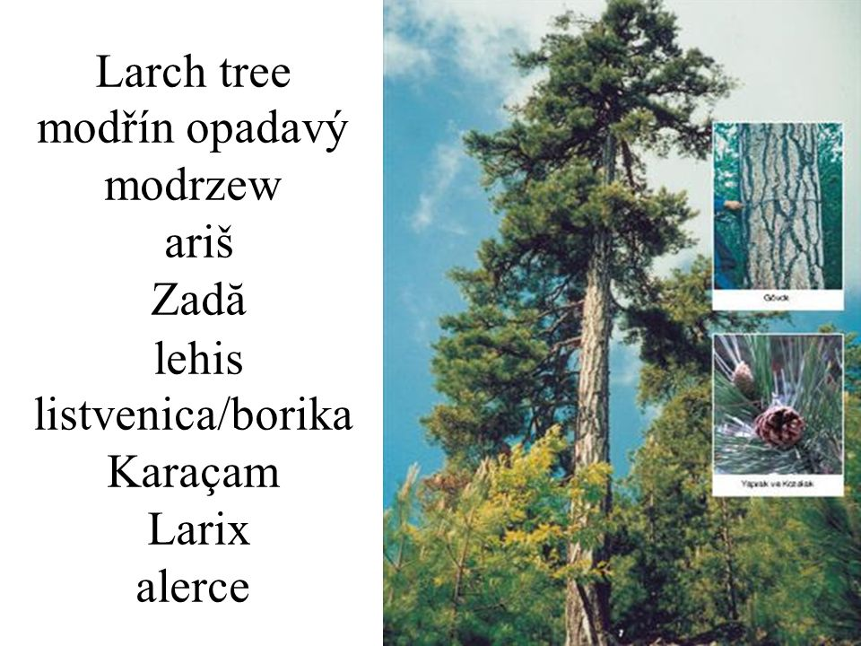 Larch tree modřín opadavý modrzew ariš Zadă lehis listvenica/borika Karaçam Larix alerce