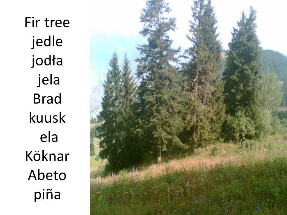 Fir tree jedle jodła jela Brad kuusk ela Köknar Abeto piña
