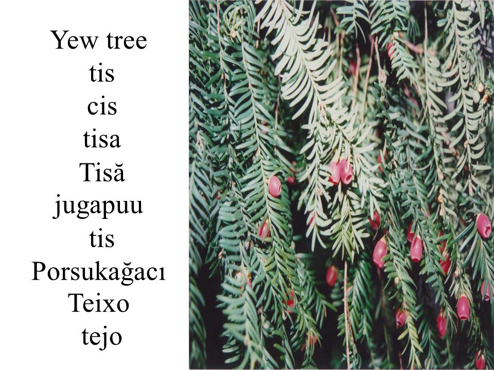Yew tree tis cis tisa Tisă jugapuu tis Porsukağacı Teixo tejo