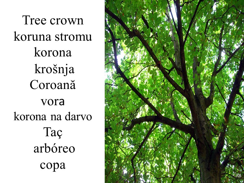 Tree crown koruna stromu korona krošnja Coroană vora korona na darvo Taç arbóreo copa