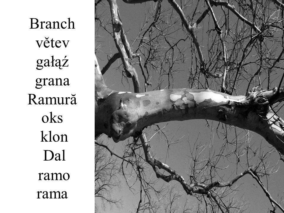 Branch větev gałąź grana Ramură oks klon Dal ramo rama