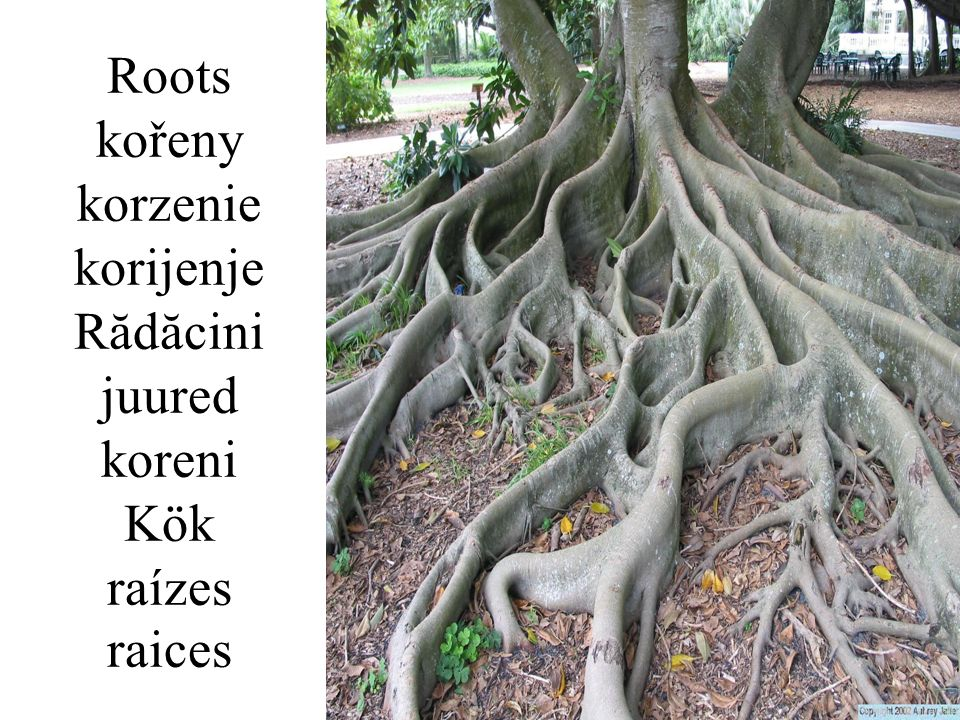 Roots kořeny korzenie korijenje Rădăcini juured koreni Kök raízes raices