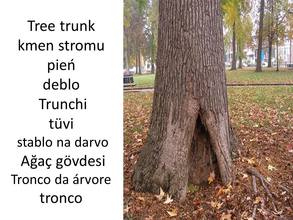 Tree trunk kmen stromu pień deblo Trunchi tüvi stablo na darvo Ağaç gövdesi Tronco da árvore tronco