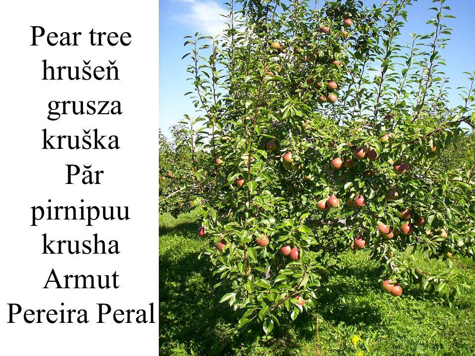 Pear tree hrušeň grusza kruška Păr pirnipuu krusha Armut Pereira Peral