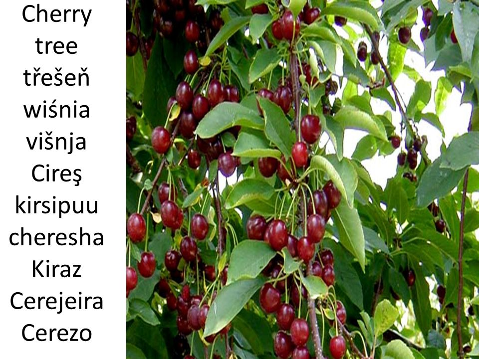 Cherry tree třešeň wiśnia višnja Cireş kirsipuu cheresha Kiraz Cerejeira Cerezo