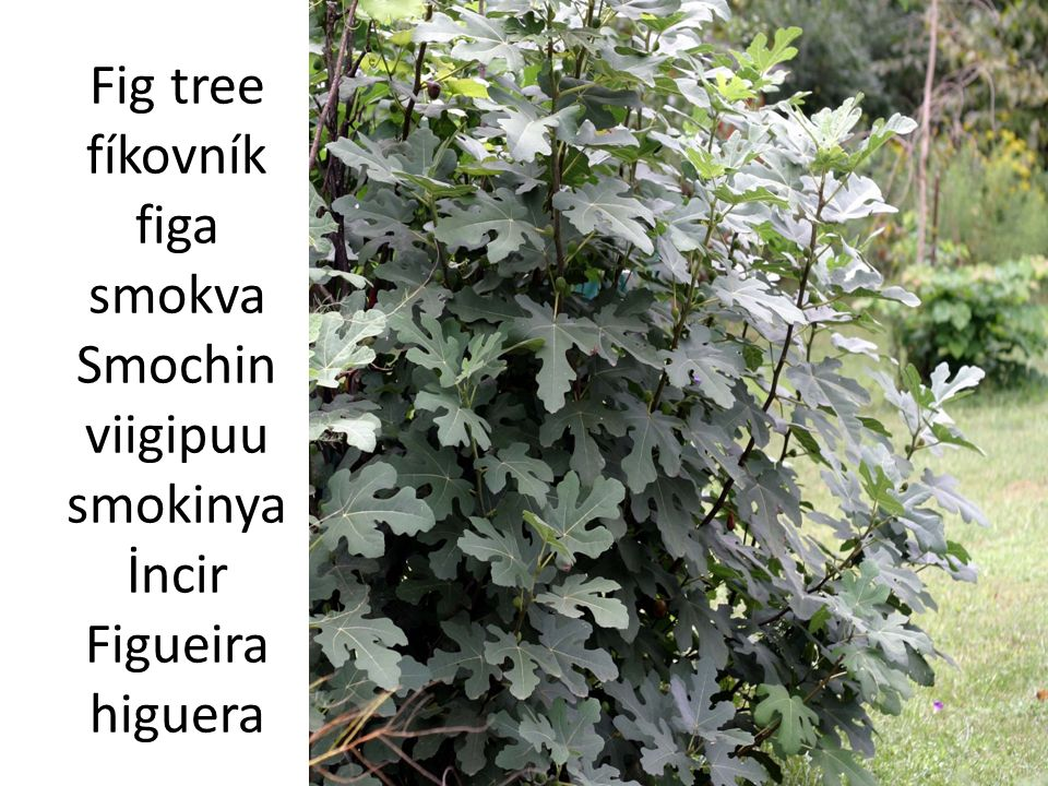 Fig tree fíkovník figa smokva Smochin viigipuu smokinya İncir Figueira higuera