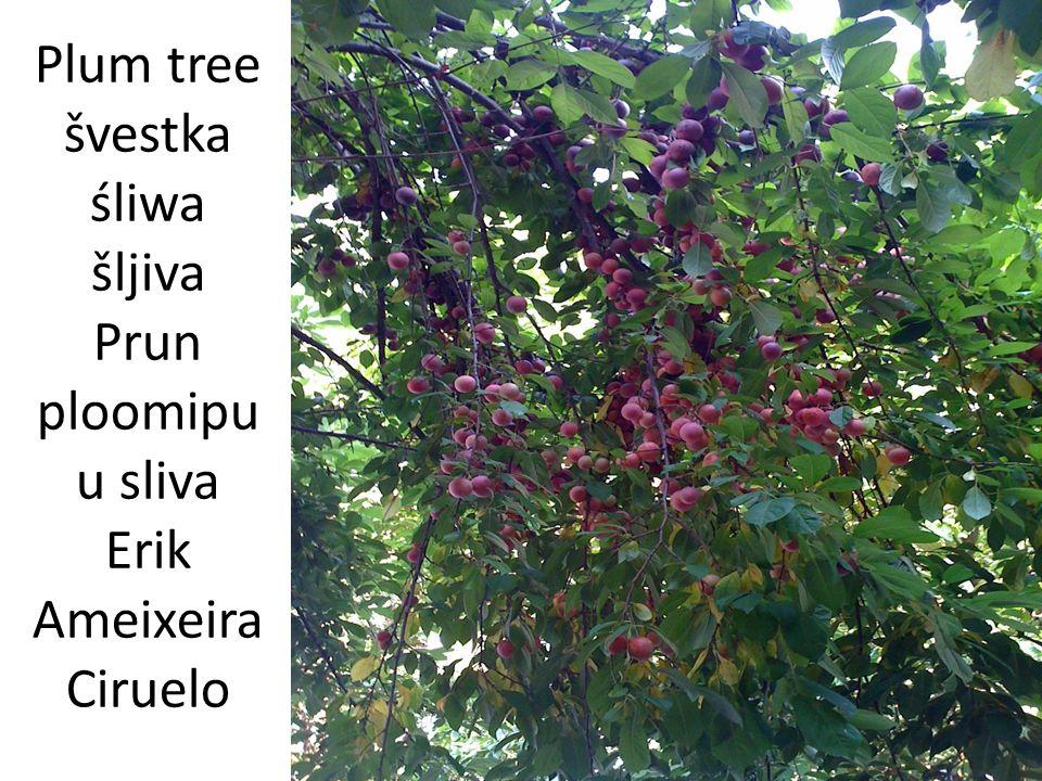 Plum tree švestka śliwa šljiva Prun ploomipuu sliva Erik Ameixeira Ciruelo