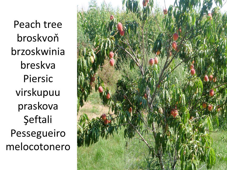 Peach tree broskvoň brzoskwinia breskva Piersic virskupuu praskova Şeftali Pessegueiro melocotonero