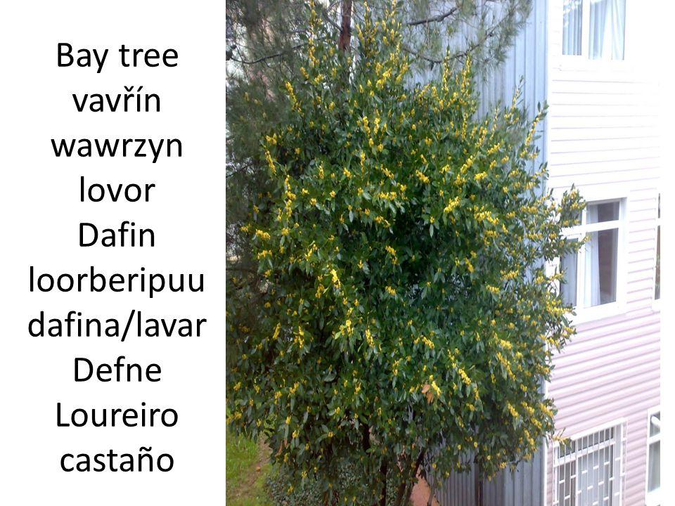 Bay tree vavřín wawrzyn lovor Dafin loorberipuu dafina/lavar Defne Loureiro castaño