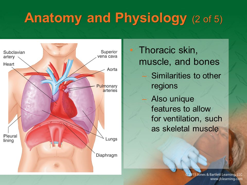 Moderno Chest Anatomy And Physiology Imagen - Imágenes de Anatomía ...