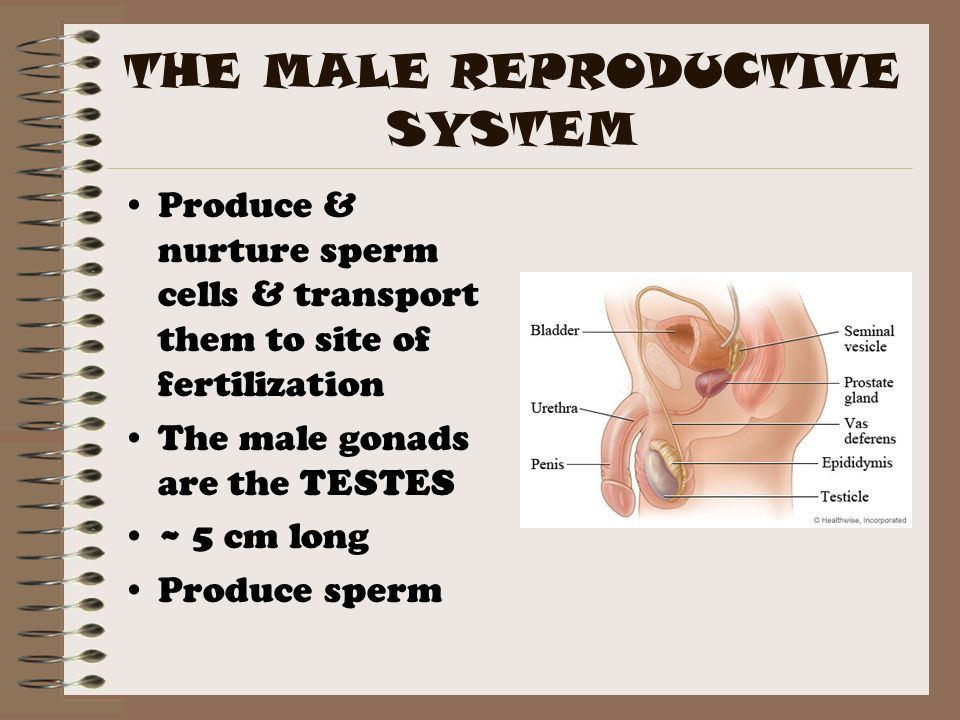 Male production sperm talk this