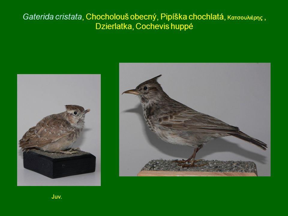 Gaterida cristata, Chocholouš obecný, Pipíška chochlatá, Κατσουλιέρης , Dzierlatka, Cochevis huppé