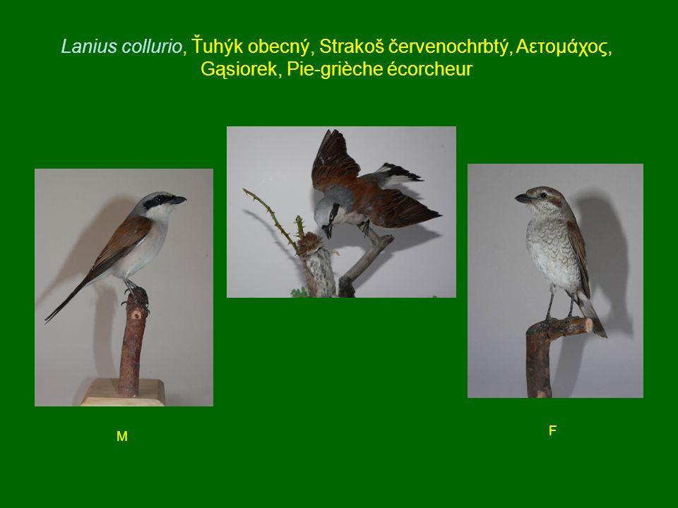 Lanius collurio, Ťuhýk obecný, Strakoš červenochrbtý, Αετομάχος, Gąsiorek, Pie-grièche écorcheur