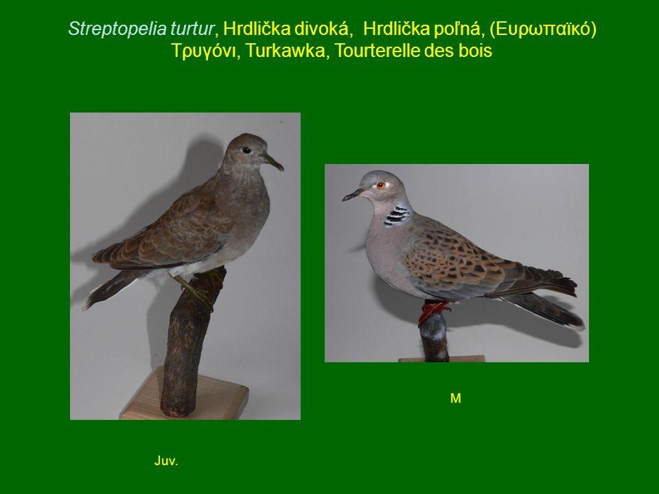 Streptopelia turtur, Hrdlička divoká, Hrdlička poľná, (Ευρωπαϊκό) Τρυγόνι, Turkawka, Tourterelle des bois