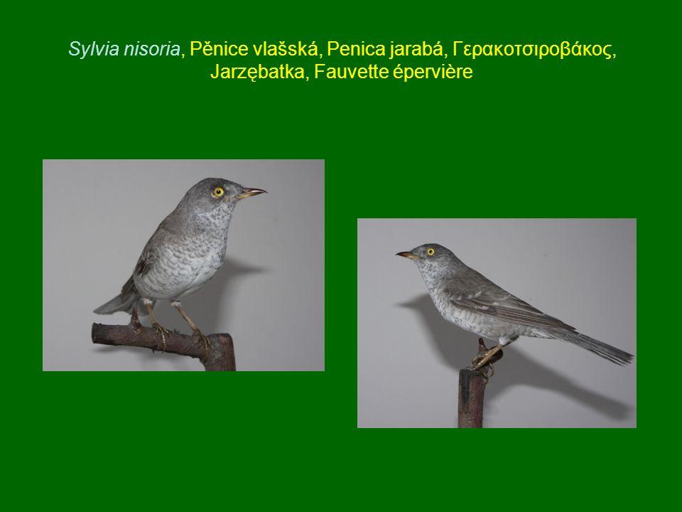 Sylvia nisoria, Pěnice vlašská, Penica jarabá, Γερακοτσιροβάκος, Jarzębatka, Fauvette épervière