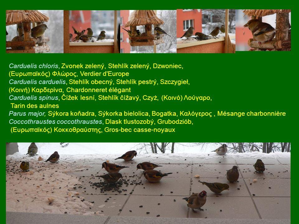 Carduelis chloris, Zvonek zelený, Stehlík zelený, Dzwoniec,