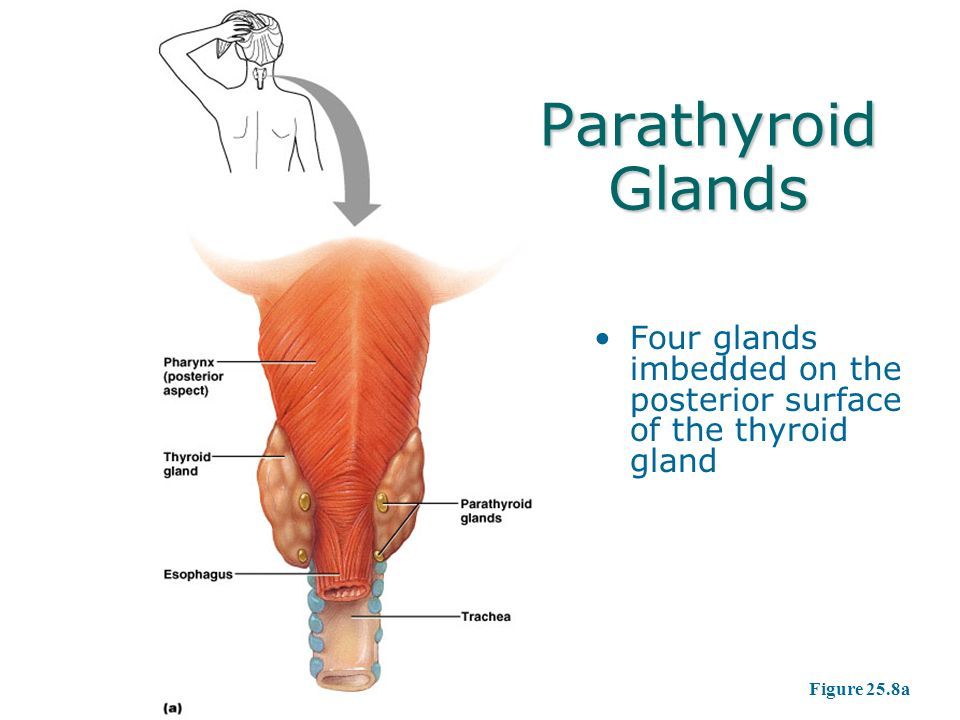 parathyroid and adrenal glands