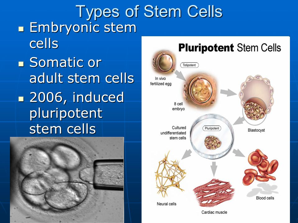 not cell embryonic stem adult