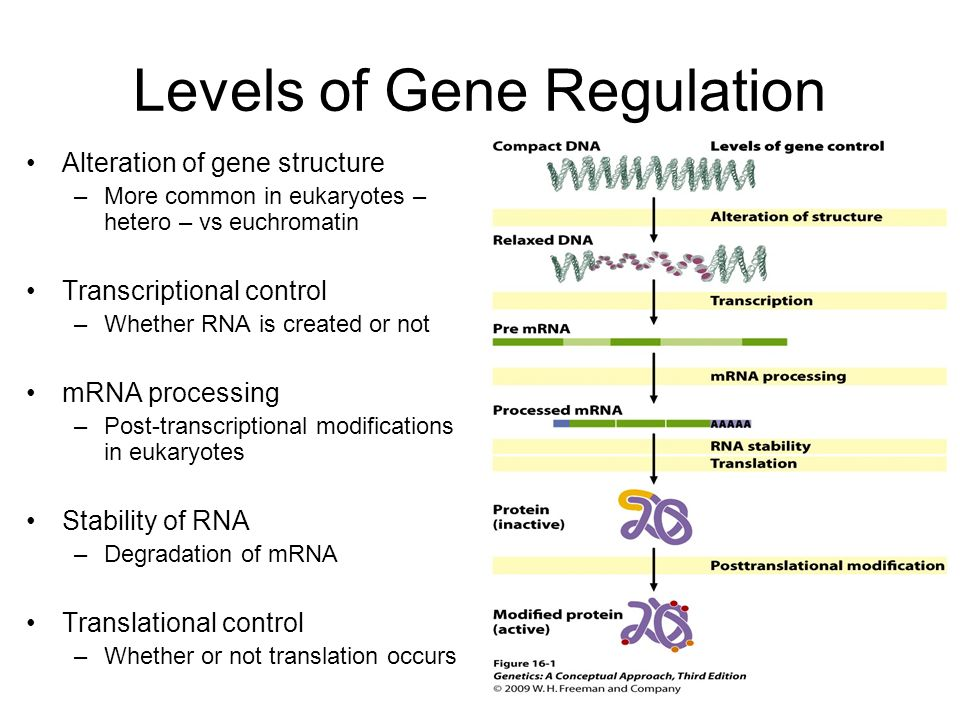 gene regulation in eukaryotes The regulation of gene expression conserves energy and space describe how prokaryotic gene regulation occurs at the transcriptional level.