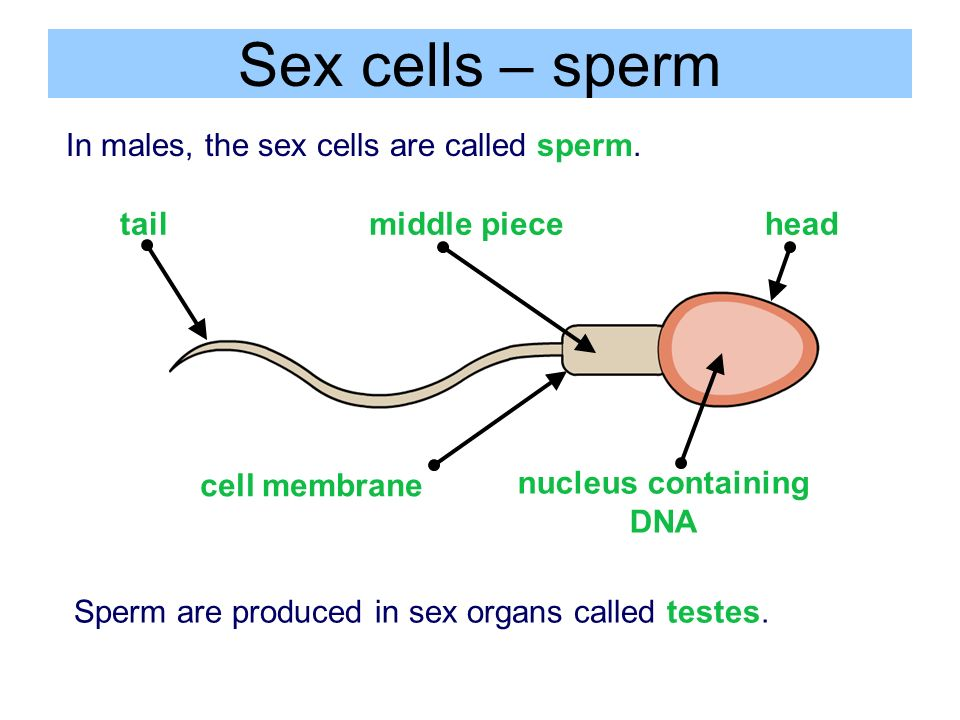 What are sex cells called images 85