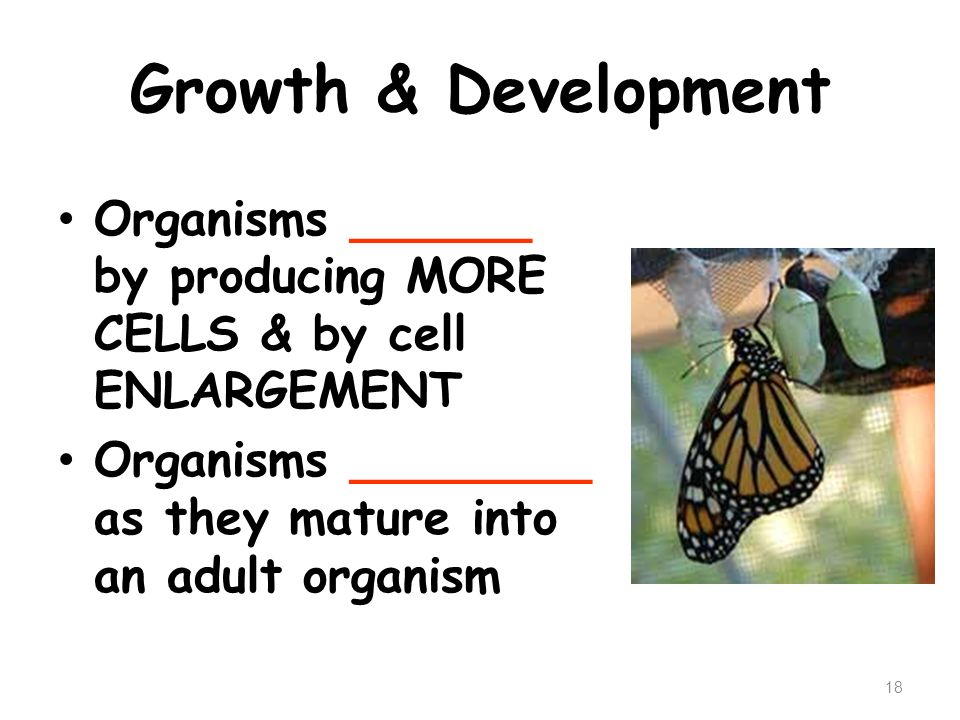 Growth & Development Organisms ______ by producing MORE CELLS & by cell ENLARGEMENT.