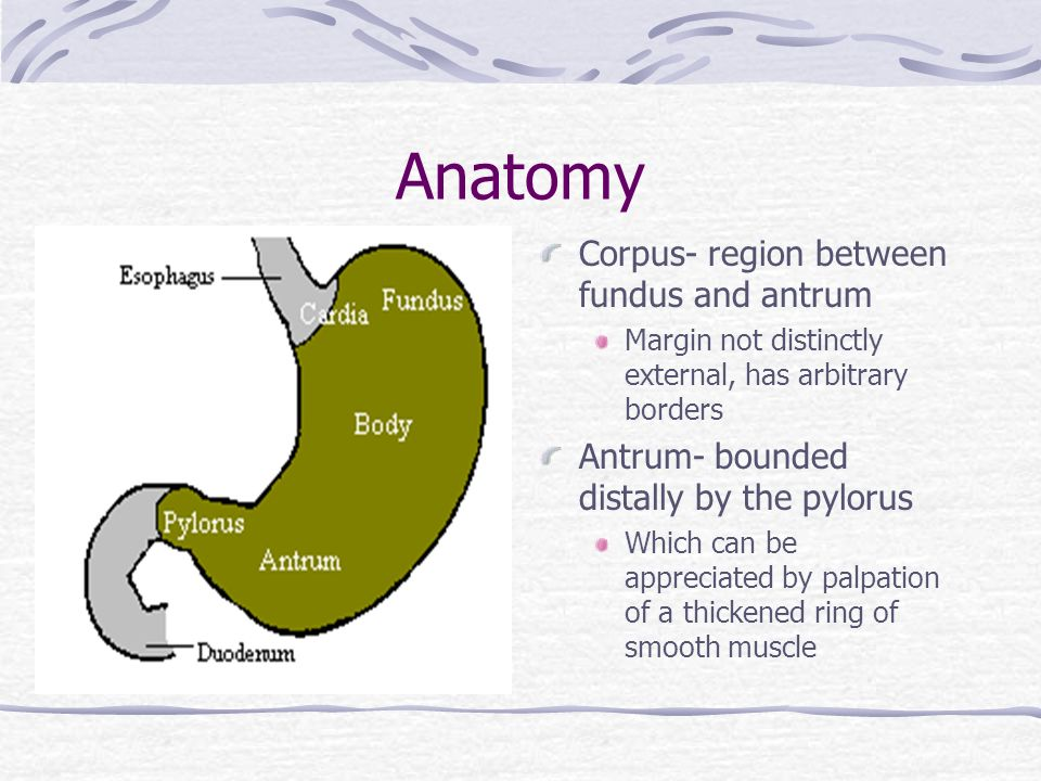Stomach Antrum Anatomy