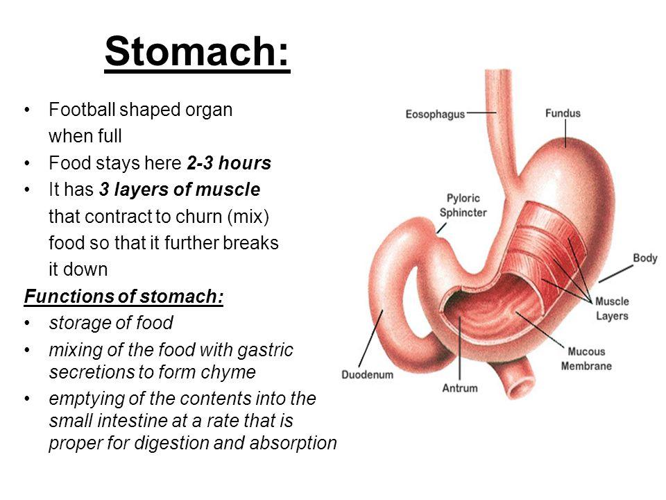 Modern Gastric Fundus Anatomy Image - Anatomy And Physiology Biology ...