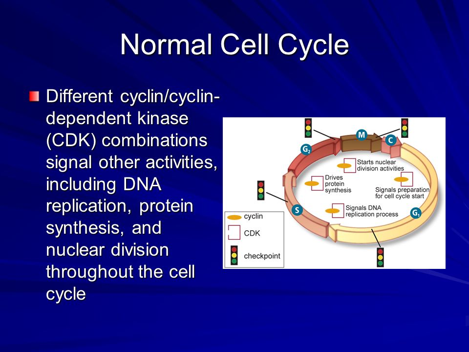 Normal Cell Cycle