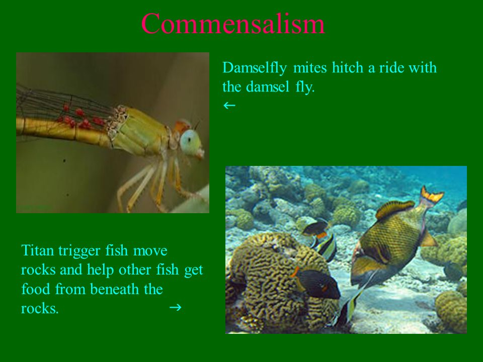 pearlfish and sea cucumber commensalism relationship