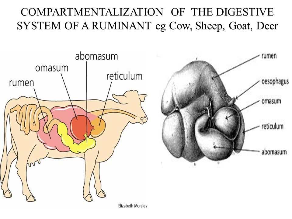 Whitetail Deer Digestive System Diagram - Online Schematic Diagram •