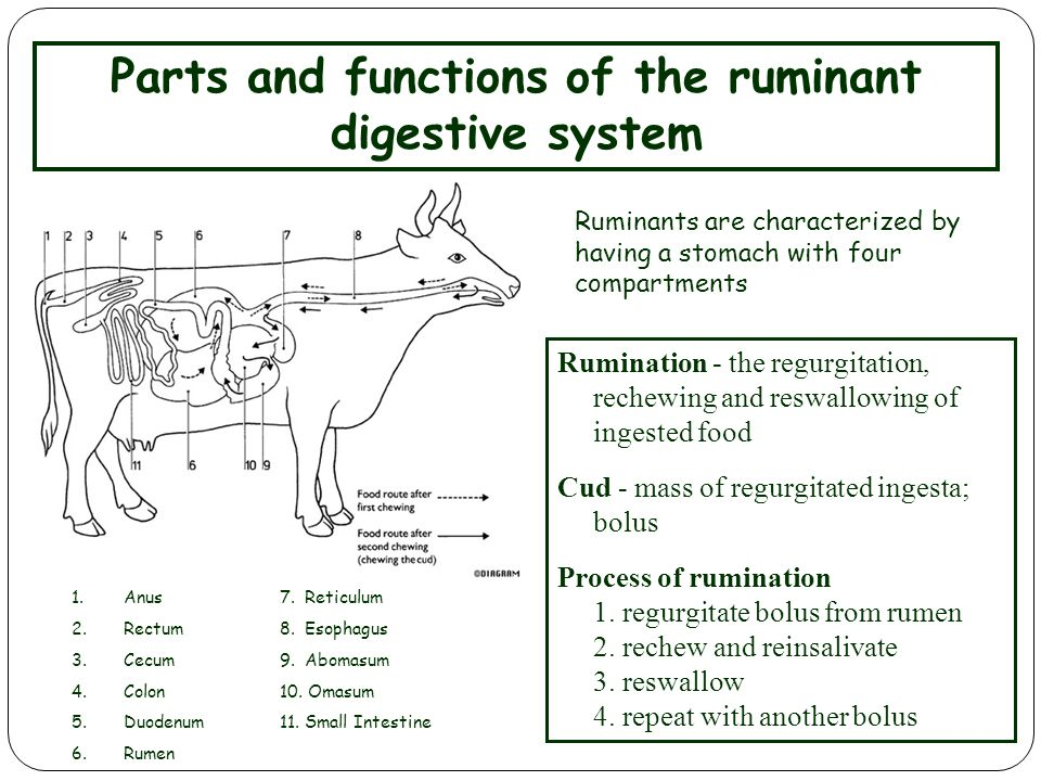 goat digestive system Goats are ruminant animals their digestive tracts (which are similar to those of cattle, sheep and deer) consist of the mouth, oesophagus (the oesophagus is a muscular tube in the chest that connects the mouth and throat to the stomach), four stomach compartments, small intestine and.