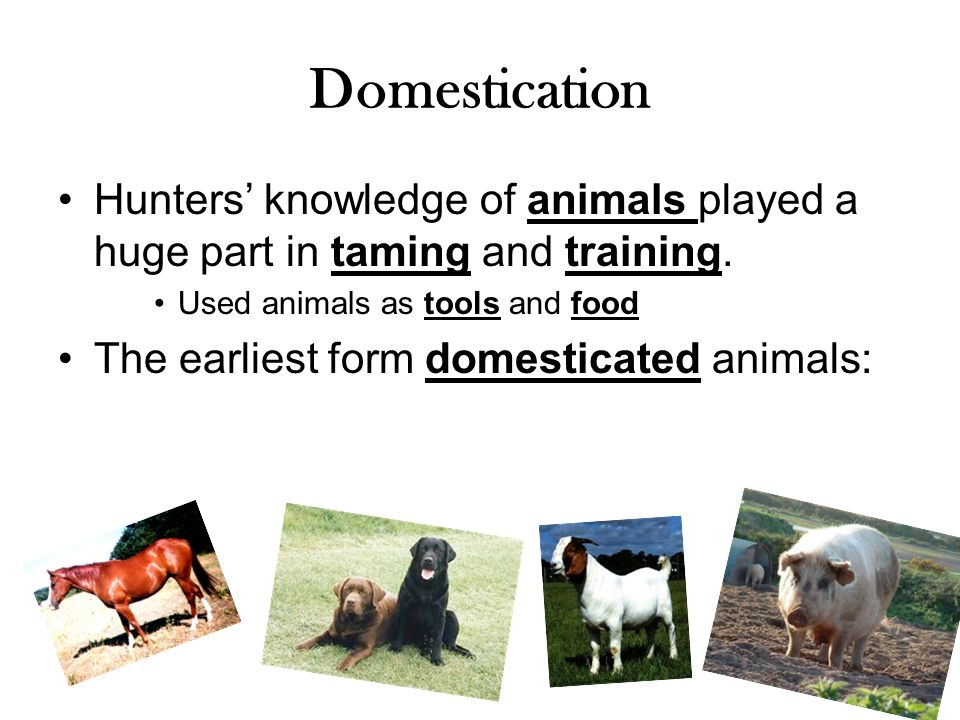 Domestication Hunters' knowledge of animals played a huge part in taming and training. Used animals as tools and food.