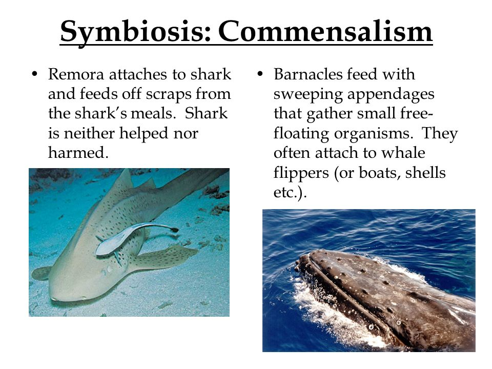 commensalism examples whale and barnacle symbiotic relationship