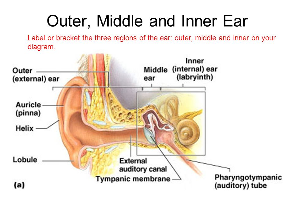 Ch 10 pns part 4 hearing learning objectives ppt video online outer middle and inner ear ccuart Images