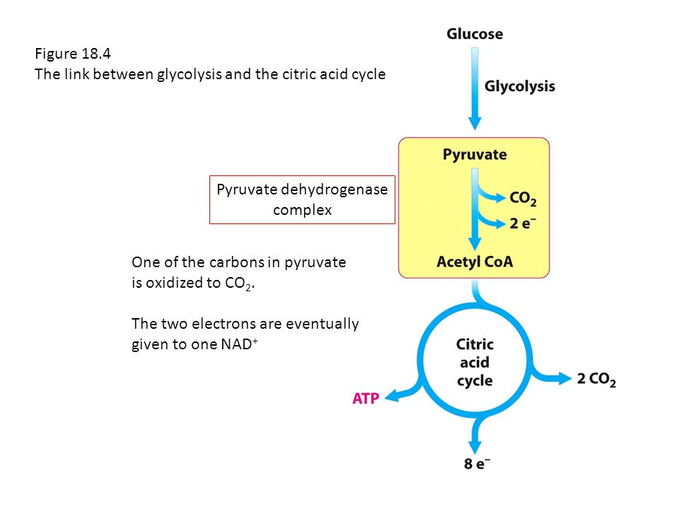 Preparation for the Citric Acid Cycle - ppt download