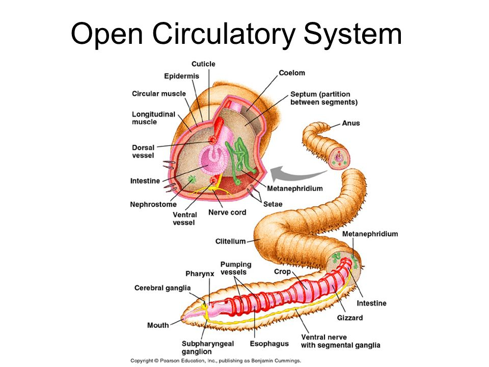 File Caenorhabditis elegans hermaphrodite adult De moreover Earthworm Dissection Lab Answers besides 8396242 furthermore Labelled Diagram Of A Heart Labelled Human Heart Cross Section Anatomy Inner Body additionally 4709749. on earthworm circulatory system