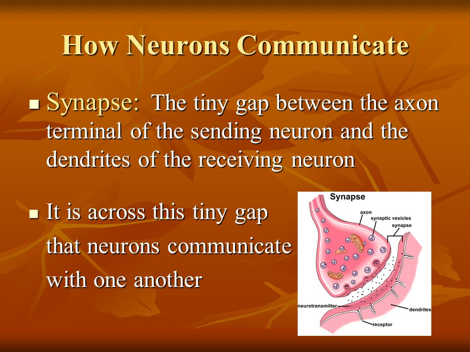 how neurons communicate Scientists have learned important details illustrating how neuronal cells in the brain communicate at a microcellular level such knowledge may help in the.